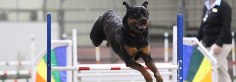 Maplemor Rottweiler going over agility jump
