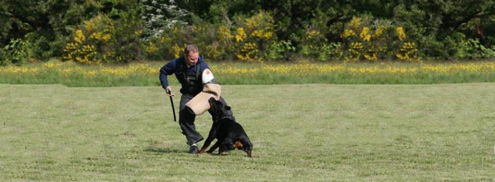 Rottweiler Artemis works in Schutzhund