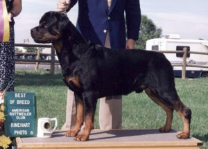 Rottweiler - Duke