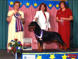 Artemis earns a select at the American Rottweiler Club National Specialty