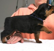 rottweiler puppy Troy stacked