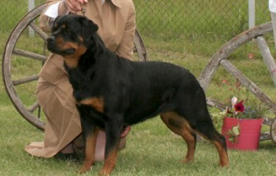 Rottweiler Ava | Am/Can CH. Quickfire's Call'n All Divas v Mplmor, TDI, CGC | shown going winner's bitch Rottweiler Club of Canada National Specialty 2009