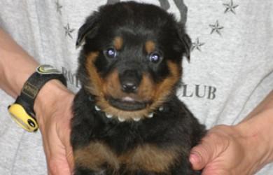 Rottweiler Puppy Axel