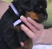 rottweiler puppy Barrett