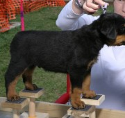 rottweiler puppy Barrett stacked