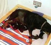 Rottweiler puppies | Maplemor Rottweilers