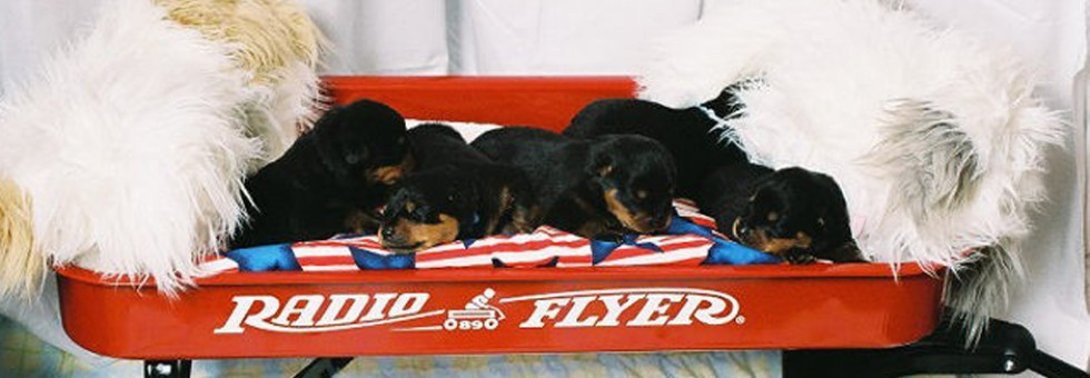 Rottweiler Puppies - Maplemor Rottweilers B Litter