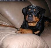 Rottweiler Maplemor's Brooklyn v Evrmor - She IS a Princess