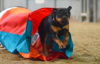 Rottweiler Clipper is cleared for take off in an agility competition - photo credit Ken Gee