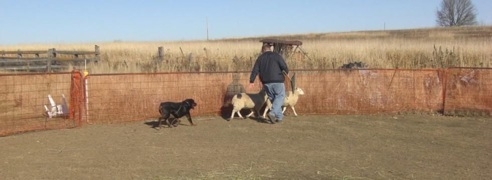 Rottweiler Hero herding sheep