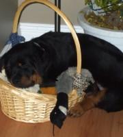 Rottweiler puppy Maverick having a snooze