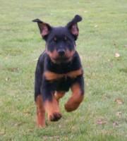 rottweiler puppy maverick