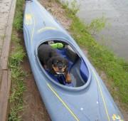 Rottweiler Puppy Troy - I wanna go too!
