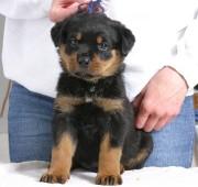 rottweiler puppy Troy