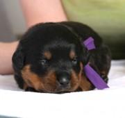 rottweiler puppy Vegas - Maplemor's Dbl Down at Qkfire