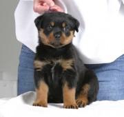 rottweiler puppy Vegas