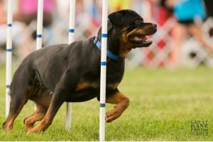 rottweiler agility - Vegas runs the weaves