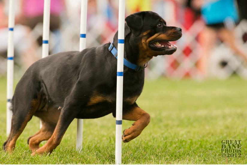 Maplemor Rottweilers Vegas - Maplemor Rottweilers