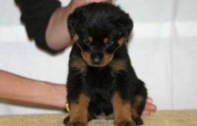 Rottweiler Puppy Wendy