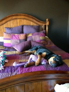 Rottweiler puppy - Wynstone Hondo