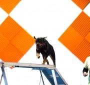 Rottweiler Vegas on the Dog Walk
