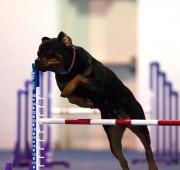 Rottweiler Vegas takes an agility jump