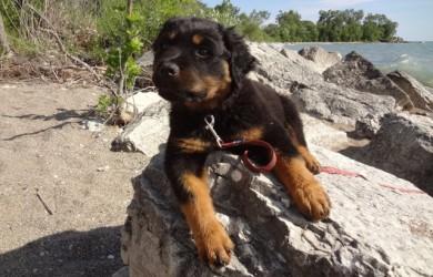 Rottweiler Puppy Fuzzball at the beach