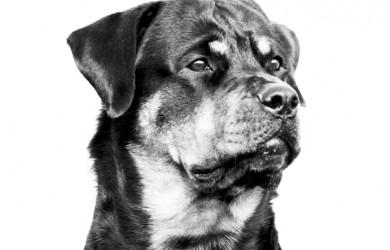 Rottweiler - Athena head study