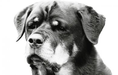 Rottweiler - Quantum - Black & White Head Study