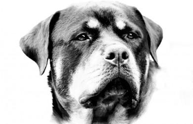 Rottweiler Takoda - Black and White head shot